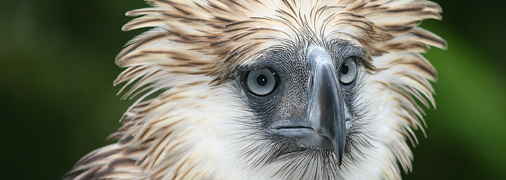 506x180_article_philippineEagle_115072.jpg